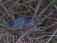 Green Heron incubating nest 23 20170422 (Kenneth Cole Schneider) Tags: florida miramar westmiramarwca