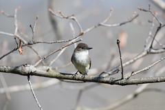 Phoebe (kgilbertsen) Tags: bird birding phoebe wisconsin d500 200500