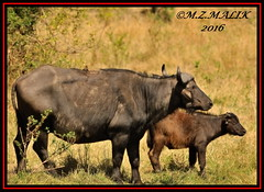 FEMALE AFRICAN BUFFALO WITH CALF (Syncerus caffer) AND YELLOW BILLED OXPECKER (Buphagus aficanus)......MASAI MARA.....SEPT 2016 (M Z Malik) Tags: nikon d3x 200400mm14afs kenya africa safari wildlife masaimara keekoroklodge exoticafricanwildlife ngc npc