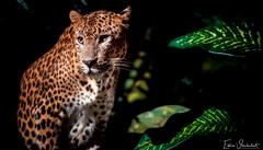 The Beast (Silverfish Photography ∴) Tags: beast animal beauty nikon low light portrait eddie vanderloot phovanderloot