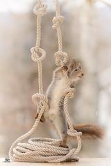 climbing in ropes (Geert Weggen) Tags: red nature animal squirrel rodent mammal cute look closeup stand funny bright sun backlight staring watching hold glimpse peek up rope knot air food climb hang acrobat yoga ladder geert weggen hardeko sweden bispgården jämtland