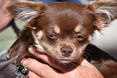 Watch Dog (swong95765) Tags: dog small highstrung guard cute petite tiny explosive