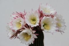 IMG_5664 (mauro muscas) Tags: trichocereus schickendantzii cactacee succulente