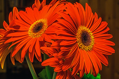 Gerbera (günter mengedoth) Tags: blume makro zimmerpflanze topfblume excellentsflowers