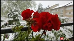 Mannedorf, Switzerland....🇨🇭 (Shobana Shanthakumar) Tags: männedorf männedorfgemeinde switzerland schweiz suisse zurichlake zurich zurichsea zurichcity zürich zürichsee nature swissnature swisswhether whether flower flowergardenbloomingflowers flowergardens lovelyflowers flowers amazingflowers seasonflowers swissflowers summerflowers google youtube winter snow snowfall