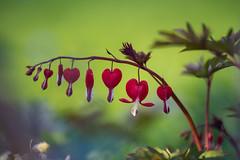 My Heart... (Stefan (back from Scotland, but need some time)) Tags: bokeh dof bleedingheart tränendesherz 135mm f18 dephtoffield depthoffield flower spring frühling blume blur creme sonya7m2 sonya7ii sigma art sigmaart13518