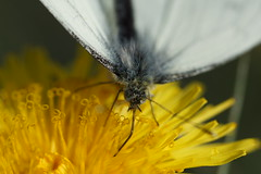 Feeding Butterfly (steve_whitmarsh) Tags: closeup macro animal nature insect butterfly flower dandelion yellow wildlife