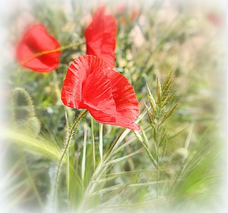 *  Papaveri evanescenti nel campo  *  Vanishing Poppies in the field  *