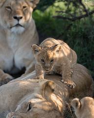 Lion (Jens Hyldstrup Larsen) Tags: løve lion pantheraleo rovdyr carnivora kattedyr felidae maranorth kenya