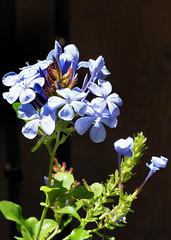 Plumbago blossoms (farolsfotos) Tags: flower blue blossoms garden plumbago plumbigo