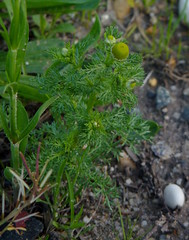 Pineapple Weed (Dendroica cerulea) Tags: pineappleweed matricariadiscoidea matricaria anthemideae asteroideae asteraceae asterales plant flower worldseriesofbirding wsb2017 raritancenter raritanriver edison middlesexcounty nj newjersey
