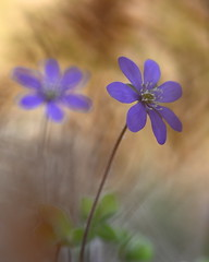 Hepatica 12 (jttoivonen) Tags: nature flowers plants blue spring bokeh macro closeup finland creativecommons