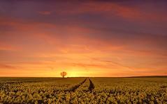 Set in Gold (Captain Nikon) Tags: westonontrent sunset rapeseed crops cropfield sublime leadinglines lonetree gold yellow rural derbyshire southderbyshire nikond7000 nikon18105mm srbgraduated06softgradfilter ole