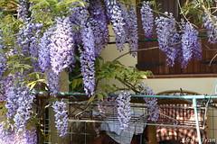 Granny's place (AlessiaFran) Tags: wisteria glicine sedia chair portico