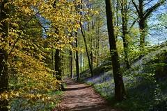 DSC_0100 (stephanie.burgess97) Tags: bluebells beech trees trawscoed aberystwyth ceredigion wales uk spring woodland path countryside absolutelystunningscapes