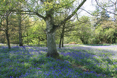 In the shadow of the trees (jpotto) Tags: uk staffordshire lodgelaneyoxall bluebell bluebells woods wood flowers flora lodgehill