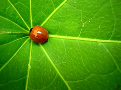 Convergence (leo.vcastro) Tags: red vemelho ladybug joaninha leaf folha verde green macro minas mg minasgerais brazil canon powershot a490