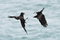 Raven v crow (Shane Jones) Tags: raven crow corvid battle fight birds bird birdinflight wildlife nature nikon d500 200400vr tc14eii skomer