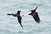 Raven v crow (Shane Jones) Tags: raven crow corvid battle fight birds bird birdinflight wildlife nature nikon d500 200400vr tc14eii skomer