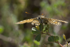 sous l'effet du vent (Doriane Boilly Photographie Nature) Tags: nature papillon prairie faunr flore printemps vent