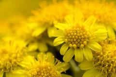 Fleur Jaune Fleurissant (Doriane Boilly Photographie Nature) Tags: jaune printemps abeille nature faune flore