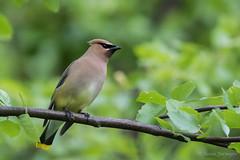 Cedar Waxwing (Bombycilla cedrorum) (Susan Jarnagin) Tags: nj burlingtoncounty cedarwaxwing bombycillacedrorum wildlife moorestown boundarycreek bird