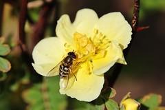 Hoverfly (Hugo von Schreck) Tags: hugovonschreck macro makro hoverfly schwebfliege insect insekt canoneos5dsr tamron28300mmf3563divcpzda010 buzznbugz onlythebestofnature