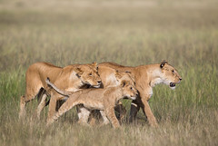Lion's Family (Mathieu Pierre) Tags: kenya sunset maasai mara safari f28 7d canon eos vanguard tripod grip 7dmark2 sunlight wildlife africa 300mmf28 goldenlight sunrise 7dmarkii big cat cuteanimal beautiful lion lionfamily masaimara maasaimara