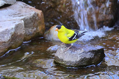 American Goldfinch (5019) (Bob Walker (NM)) Tags: bird goldfinch americangoldfinch amgo spinustristis whiterock newmexico usa