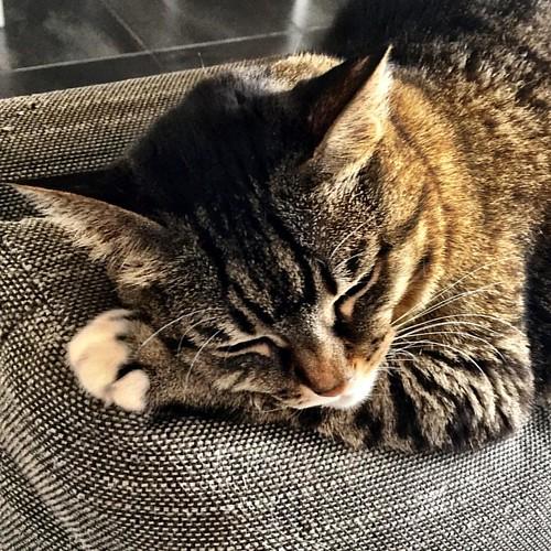 Hasta la #gattomenica siempre! ** #igerslaspezia #sarzana  #VitaDaAmelie #casabiondine     #catsofinstagram #instagramcats #gattidiinstagram #catofinstagram #maddyduck  #ilovemycat #catoftheday #cutecat #catlovers #catlover   #lovecats   #vscocat #gatto #