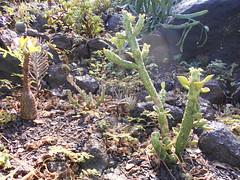 Monadenium lugardii, Pachypodium windsorii, Edithcolea (bouton floral)