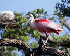 Perched Roseate Spoonbill (dcstep) Tags: roseatespoonbill staugustinealligatorfarm rookery pink allrightsreserved copyright2017davidcstephens dxoopticspro114 canon5dmkiv ef100400mmf4556lisii florida staugustine bird handheld n7a2314dxo perched ecoregistrationcase15586202651