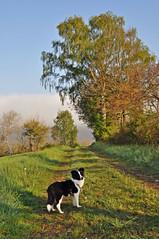 Frühaufsteher werden belohnt... (Uli He - Fotofee) Tags: ulrike ulrikehe ulihe uli ulrikehergert hergert nikon nikond90 fotofee mai frühling burghaun feld plätzer raps frühlingserwachen morgenstimmung nebel nebelstimmung rapsblüte hünfeld fleur sheltie shetlandsheepdog sheepdog welpe baby hundebaby tierbaby tierkind puppy