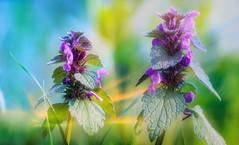 Lamium purpureum L (augustynbatko) Tags: flower flowers nature macro bokeh plant view lamium