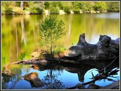 Wasserbäumle (almresi1) Tags: see lake water spring frühling wood holz wurzeln spiegelung reflections bärensee stuttgart