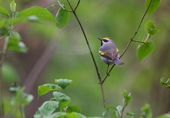 Golden-winged Warbler (Kremlken) Tags: warblers migration goldenwinged pa birds birding