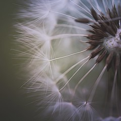 .every wish brings me back to you. (allyson.marie) Tags: icolorama canon flower nature soft white seeds closeup dandelions macromonday macro