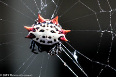Spoteted Orb Weaver (Thomas Gremaud) Tags: spiderweb spider macro spottedorbweaver black white aracnid spidersild red