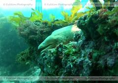 Yellow Eel (ficktionphotography) Tags: aquaticlife coralreef eel morayeel newzealand scuba underwater poorknights yelloweel
