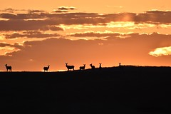 _DSC4706 (barrypphotos) Tags: rural sunrise elk grazing landscape southern alberta waterton park