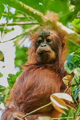 BO1_7575 (lucvanderbiest) Tags: orangoetang borneo maleisië sabah danumvalleywildlifereserve