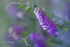 Muttertag / Mother's Day (Claudia Bacher Photography) Tags: muttertag mothersday blume flower blüte blossom makro macro lila violett natur nature outdoor pflanze plant suisse schweiz switzerland sonya7r