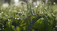 Weeds (fdlscrmn) Tags: dew light bokeh drops nature 7dwf green colours plants leaves weed macro