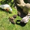 Papa et maman et leurs petits canetons photo prise au parc de la mairie à Fontenay-sous-Bois(sa pousse) (freddo94) Tags: babyduck duck parcdelamairie 94120 fontenay fontenaysousbois canard canetons