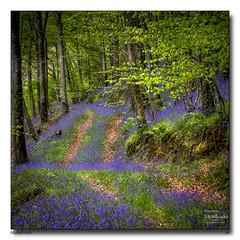 Bluebell-Path (jeremy willcocks) Tags: bluebells devon path colour trees jeremywillcocks wwwsouthwestscenesmeuk fujixpro2 xf50140mm uk