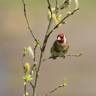 Goldfinch on pussy willow