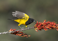 Scott's Oriole (Tomingramphotography.com) Tags: scottsoriole oriole maderacanyon arizona nature