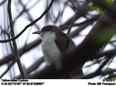 Yellow-billed Cuckoo (Bill.Thompson) Tags: yellowbilledcuckoo coccyzusamericanus fl birds