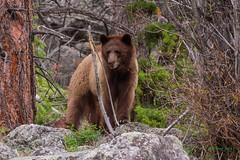IMG_3914 black bear (starc283) Tags: starc283 bear blackbear flickr flicker nature naturesfinest colorado canon canon7d wildlife