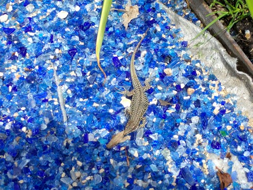 Salamander? sun bathing on blue glass Chateau Cheverny Veg garden